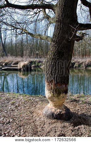 Beaver tree gnawing damage in forest round Litovel, Czech Republic