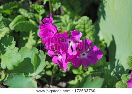Beautiful Primula Flower
