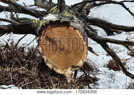 The restricted tree trunk during winter in Poland