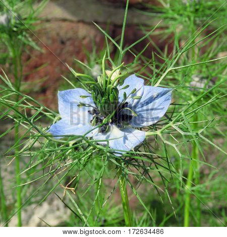 Single Nigella / Love-in-a-mist flower blooming in a garden