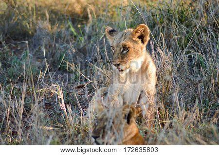 Lion cub sitting in the savannah of West Tsavo Park in Kenya