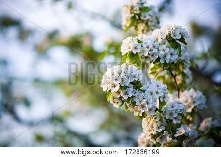 Flowering branch of pear. blooming spring garden. Flowers pear close-up. Blurred background. Pear blossom in early spring.