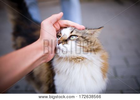 Happy Fluffy Cat Is Pleased With Hand Stroking