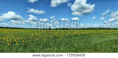 Panorama Of Sunflowers Field Under White Clouds