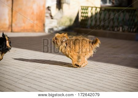 Redhead hairy dog running on the street for the black dog.