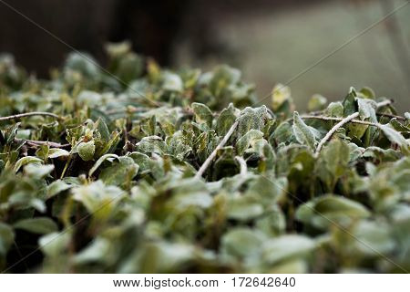 The leaves of the bush-covered light snow