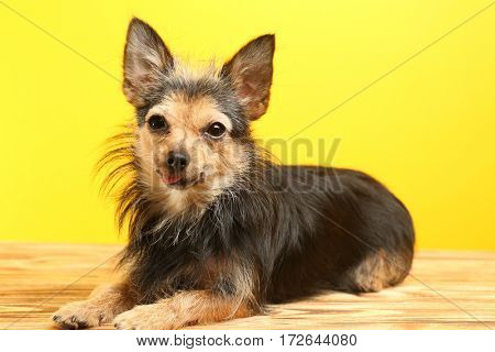 Lovely little dog on yellow background
