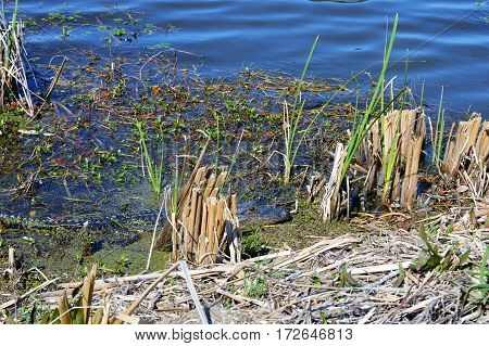 horizontal shot of alligator body in water along cut marsh grass