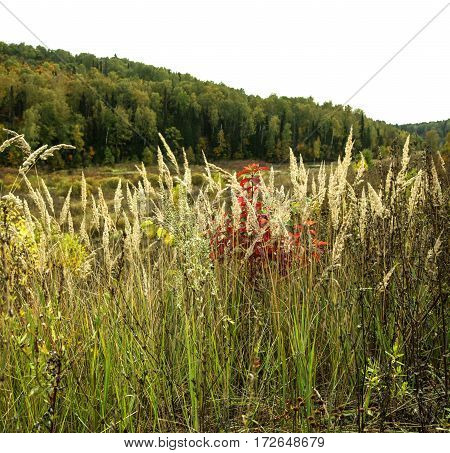 High Grass With Dense Forest In Early Autumn
