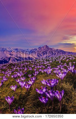Blossom carpet of violet crocuses flowers in the mountains at sunset.