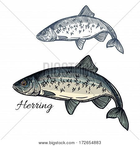 Herring sketch vector fish icon. Isolated marine atlantic ocean sardine or sea sprat fish species. Isolated symbol for seafood restaurant sign or emblem, fishing club or fishery market