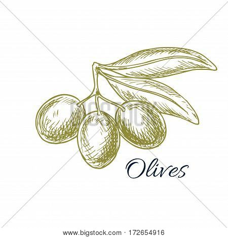 Olives sketch of vector olive-tree branch with green olive fruit for olive oil product or bottle label, salad dressing ingredient and seasoning of healthy vegetarian and vegan vegetable food menu