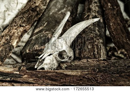 The Skull Of A Goat On Rotting Logs