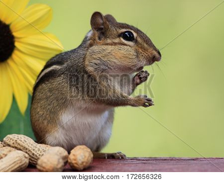 Adorable Eastern Chipmunk (Tamias Striatus) filling cheeks with peanuts