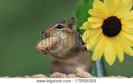 Adorable Eastern Chipmunk (Tamias Striatus) stuffs a peanut in mouth