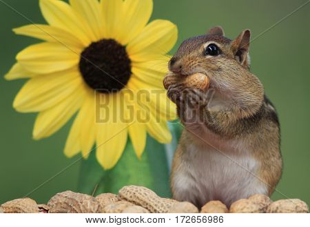 Adorable Eastern Chipmunk (Tamias Striatus) stands next to Lemon Sunflower holding a peanut