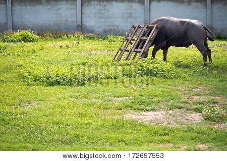 Buffalo frighting with wooden pallet in the countryside