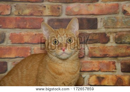Orange ginger tabby kitten sitting in front of a brick wall looking directly at the viewer.