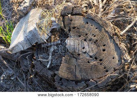Wooden stub on dry pine needles