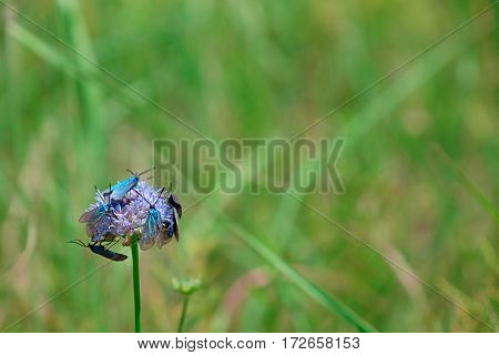 Insects on purple meadow flower on blurred nature background