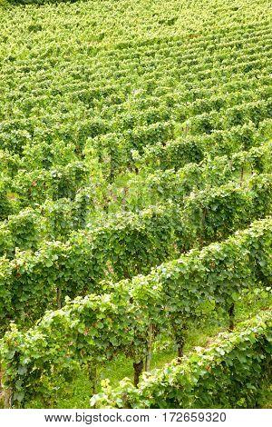 Vineyard in Alsace, France.