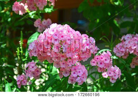 Beautiful Phlox Flower