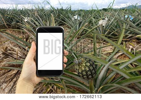 take photo by smartphone. pineapple crop. agriculture