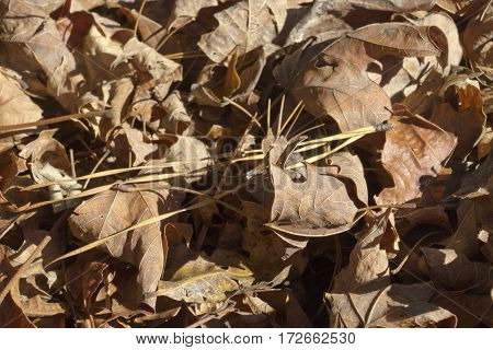 Dry, fallen oak leaves litter the ground in autumn