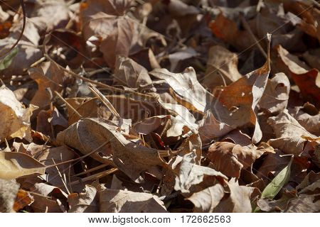 Dry brown fallen autumn oak leaves background