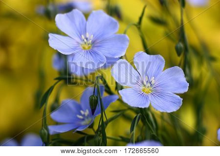 Blue flowers of decorative linum austriacum and its runaways on a yellow background. poster
