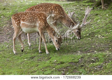 Persian fallow deer (Dama dama mesopotamica).