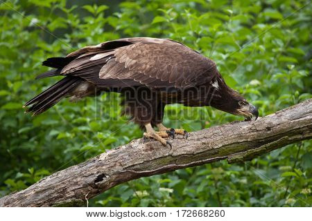 Female bald eagle (Haliaeetus leucocephalus). Wildlife animal.