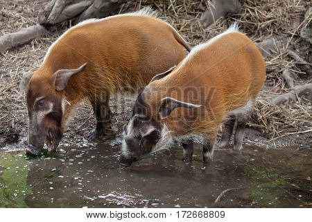 Red river hog (Potamochoerus porcus), also known as the bush pig.