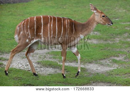 Nyala (Tragelaphus angasii). Wildlife animal.