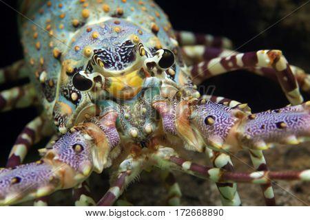 Caribbean spiny lobster (Panulirus argus).