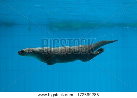 North American river otter (Lontra canadensis), also known as the Northern river otter.