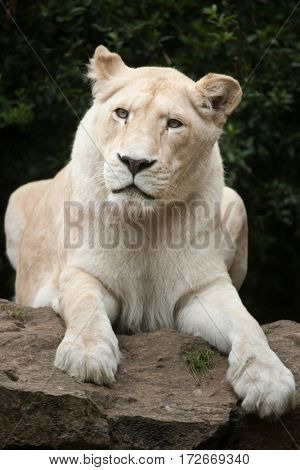 Female white lion. The white lion is a colour mutation of the Transvaal lion (Panthera leo krugeri), also known as the Southeast African or Kalahari lion.