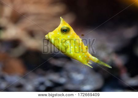 Longhorn boxfish (Lactoria cornuta), also known as the horned boxfish.