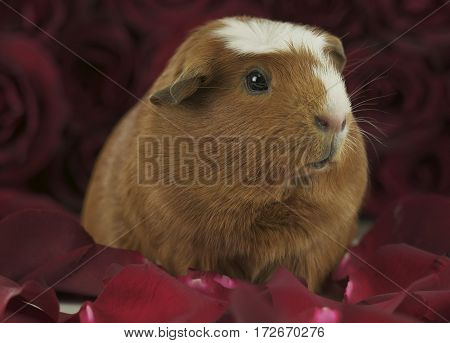 Beautiful Guinea pig breed Golden American Crested in the petals of red roses