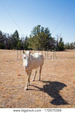 Palomino Mare Wild Horse Mustang on Tillett Ridge in the Pryor Mountain Wild Horse Range on the Wyoming Montana border - USA