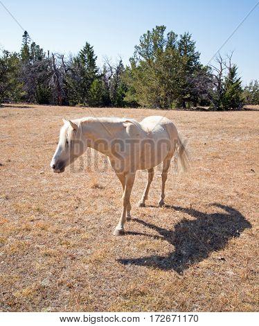 Mustang Wild Horse Palomino Mare on Tillett Ridge in the Pryor Mountain Wild Horse Range on the Wyoming Montana border - USA