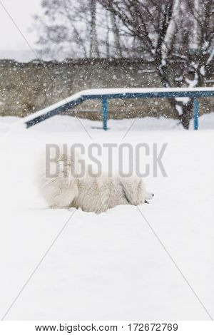 Samoyed dog in the snow frolics in the park for training dogs
