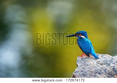Beautiful kingfisher or Alcedo atthis taprobana is sitting on a stone