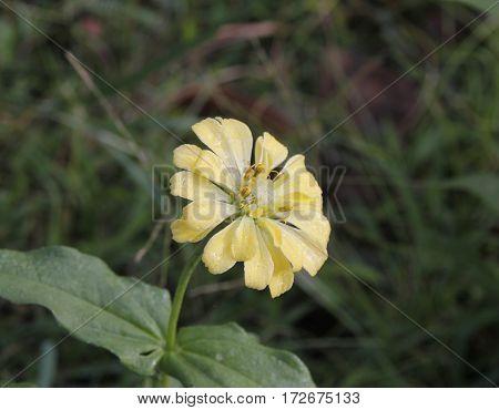 a single vibrant pale yellow beautiful flower