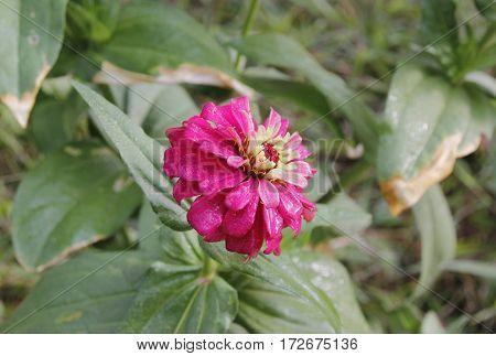 a vibrant magenta colored petal flower full of mist