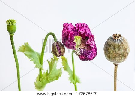Flowers, head and stems of poppy, on white background, copy space. Stages of flower development and senescence. Soft focus
