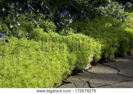 close up of floral border consisting of blue and white viola flower blossoms and fresh greenery sedum flower alone the asphalt tile road in park selective focus