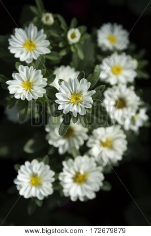 close up of dahlia spring flower white blossom surrounded by white flowers and deep green leaves selective focus blurred flowers on background vertical placement