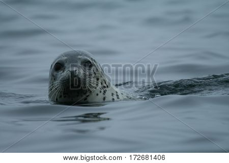 Phoca largha (Larga Seal Spotted Seal) surface pictures