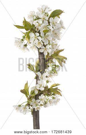 Sweet Cherry Blossom